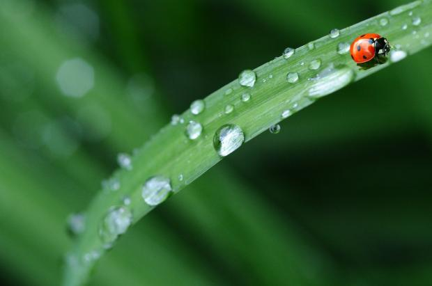 божья коровка ползет по зеленому листу с росой