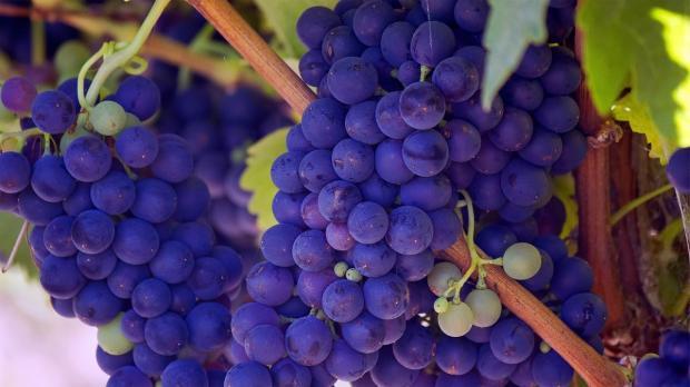 спелый синий виноград на лозе