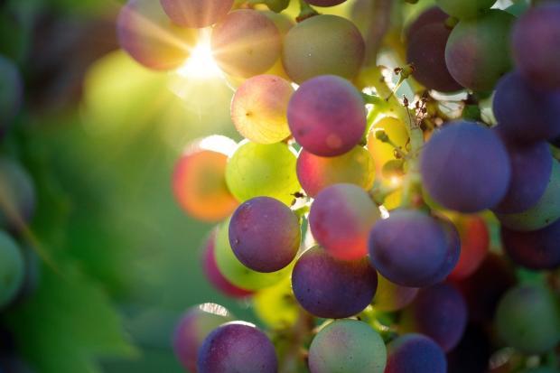 солнце просвечивает сквозь грозди винограда
