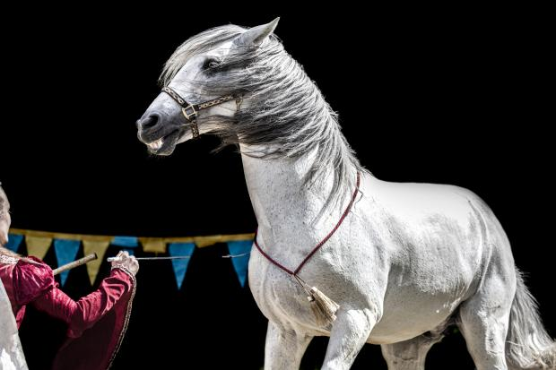 цирковая лошадь