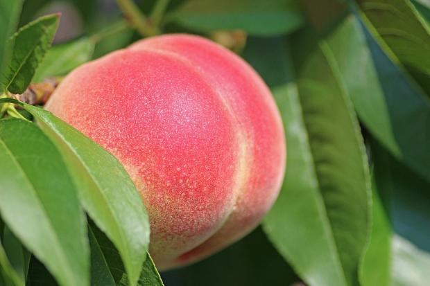 спелый персик висит на ветке