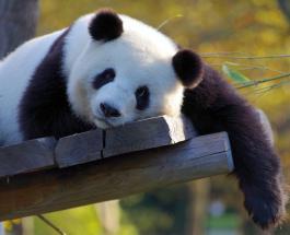 Как выглядит детеныш панды возрастом один месяц: невероятно милое видео