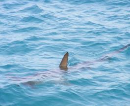 Редкая акула-альбинос поймана у побережья британского острова