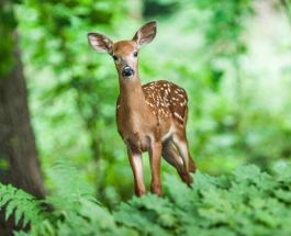 Опасный кадр: олень напал на женщину в заповеднике во время позирования для фото