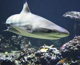 Странная находка в Индонезии: рыбаки поймали беременную акулу с необычным малышом в утробе