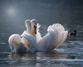 Город в США распродает лебедей: стоимость одной птицы – 400 долларов