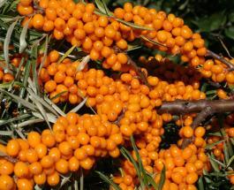 Облепиха с медом - эликсир здоровья: полезные свойства целебной ягоды
