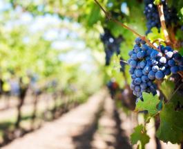 Необычная кража в Канаде: от рук злоумышленников пострадал виноградник