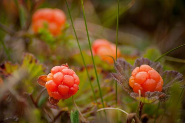 ягоды морошки в лесу на болоте