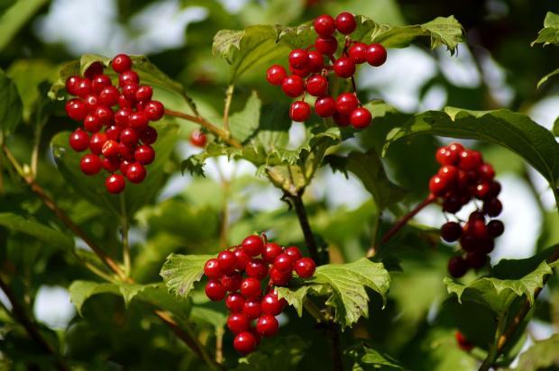 созревшие красные гроздья калины на дереве