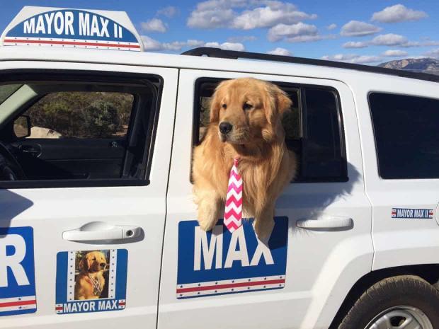 мэр Максимус - золотистый ретривер в своей машине
