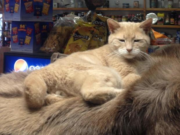кот Стаббс - мэр территории на Аляске