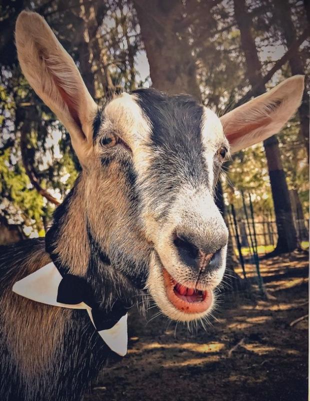 коза Пакс - мэр американского города