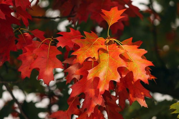 яркие кленовые осенние листья