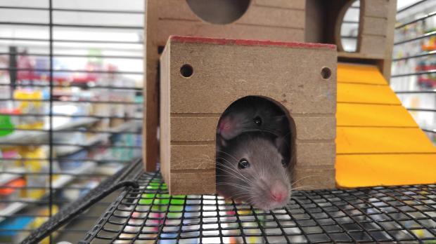 Крысы в деревянном домике