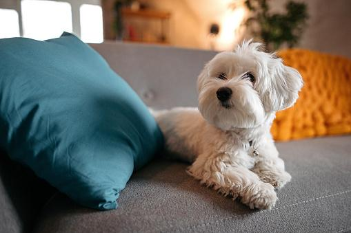 белая собака лежит на сером диване с яркими подушками