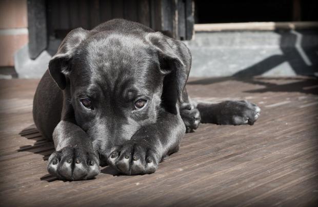 черная грустная собака лежит на полу с вытянутыми лапами