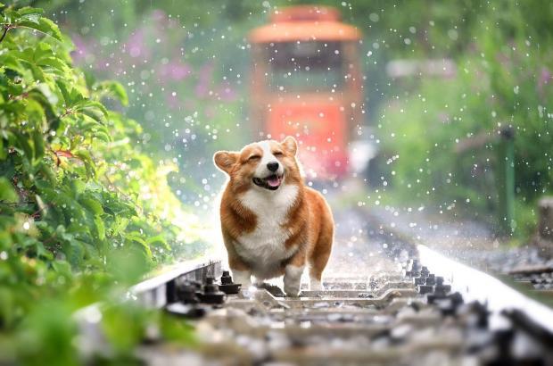 собака породы корги весело бежит под дождем по трамвайным путям