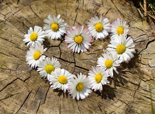 сердечко из цветков ромашки