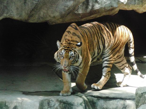 Индонезийский тигр