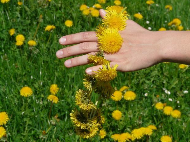 поле с одуванчиками, венок из одуванчиков на руке
