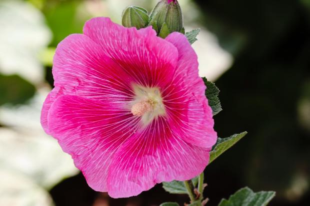 розовый цветок мальвы