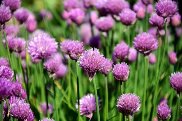 цветущий шнитт-лук