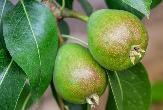 две груши висят на ветке плодового дерева