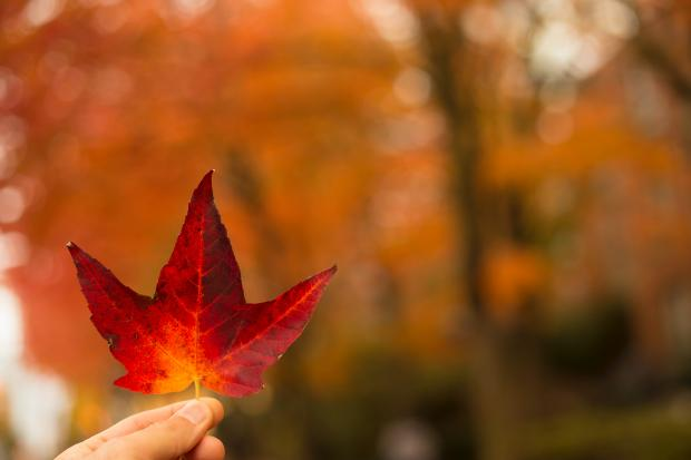 Красный листок с дерева в руке