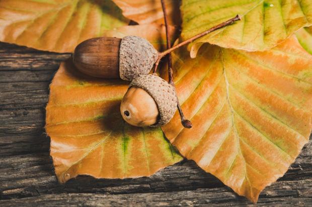 два желудя лежат на желтых листьях