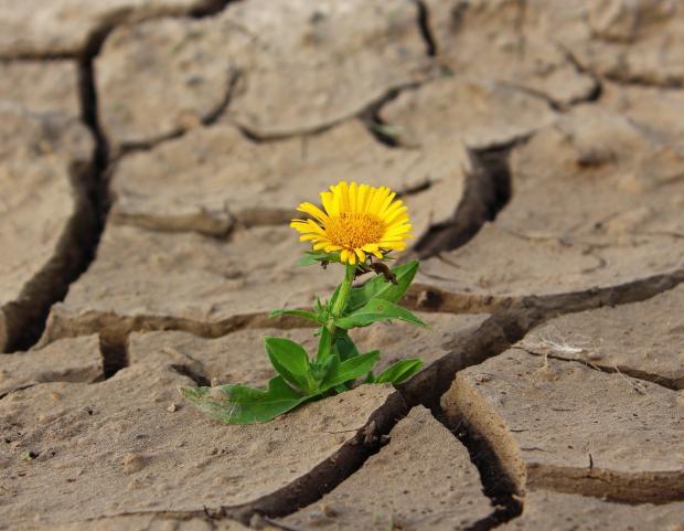 растрескавшаяся земля, из которой растет одуванчик