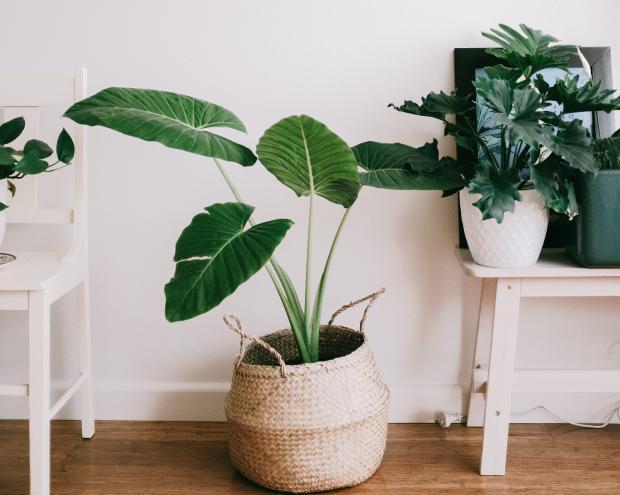Комнатное растение в плетеном горшке