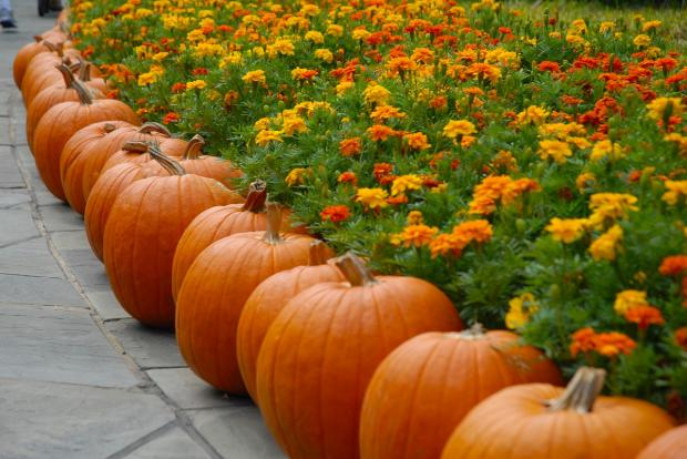 ряд зрелых тыкв на мостовой около клумбы с оранжевыми цветами