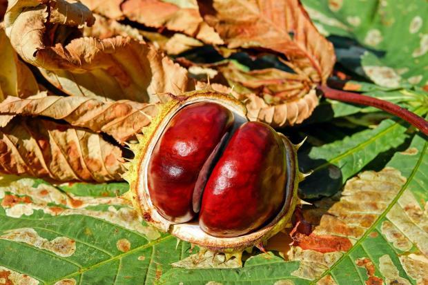 раскрытый каштан, осенние листья