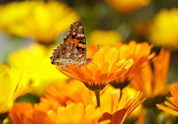 бабочка сидит на оранжевом цветке