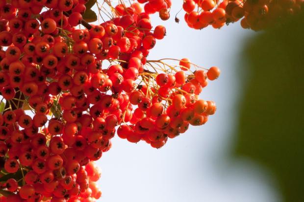 ягоды облепихи на ветке