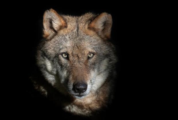 волк смотрит прямо в глаза