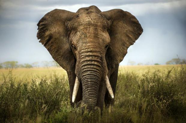 большой слон с белыми бивнями идет по полю