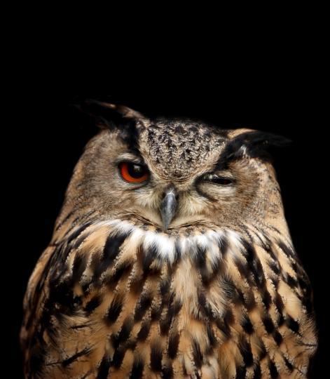 сова с одним прищуренным глазом