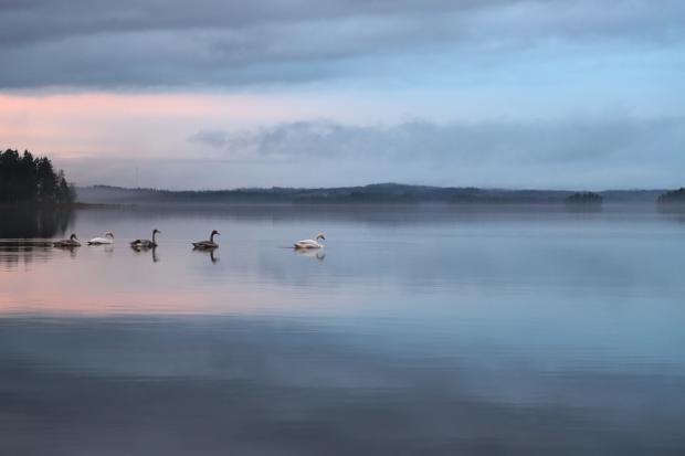 плывущие по реке лебеди