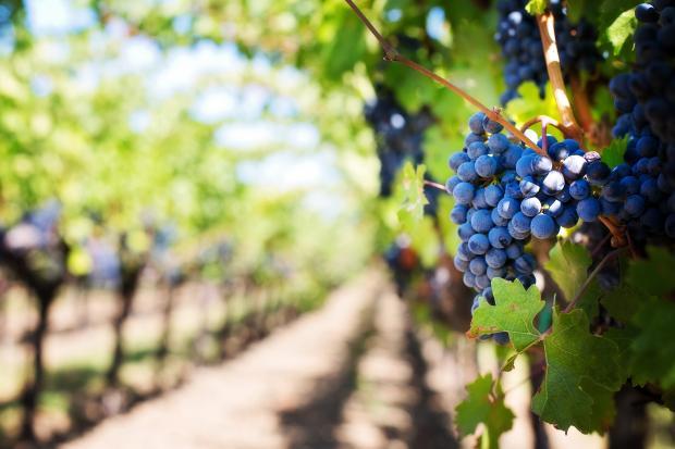 Виноград на лозе