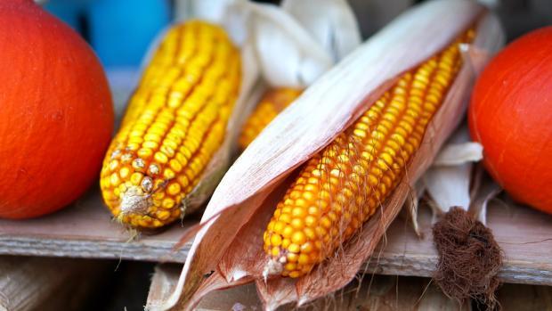 два ярких кукурузных початка