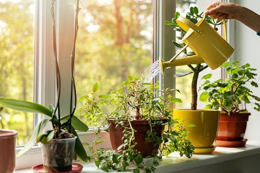 поливать домашние цветы из лейки