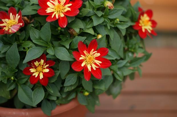 красные цветы домашние