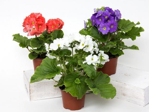 три керамических горшка с комнатными цветами