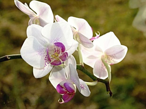 домашняя белая орхидея