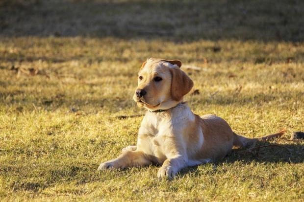собака лежит на пожухлой траве