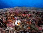 Рыба-анемон или рыба-клоун смотрит на рыболовную сеть на коралловом рифе на Филиппинах