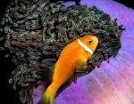Рыба-клоун на Мальдивах