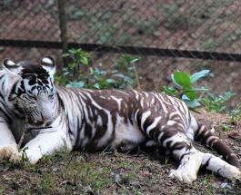 Один из шести существующих в мире черных тигров попал в объектив фотографа-новичка